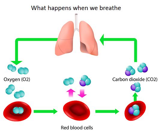 what-happens-when-we-breath-sleep-apnea